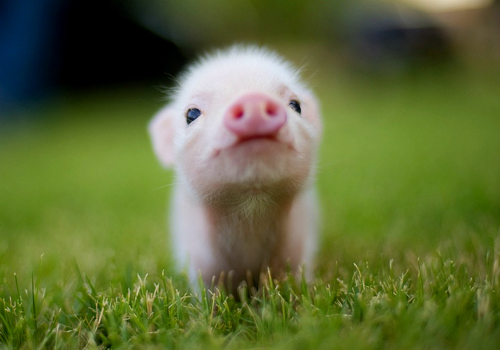 And a pic of a sweet little piglet because you really don't want a pic of my face!