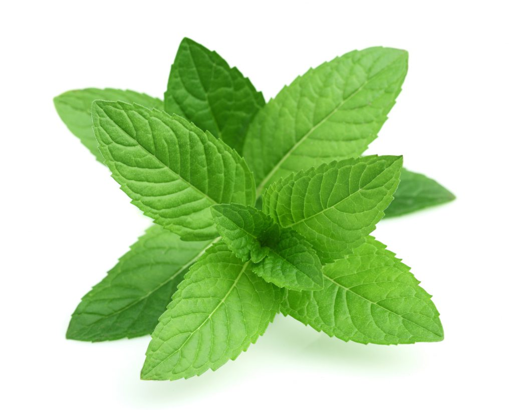 Fresh mint in closeup